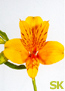 Intiaanikukka - Alstroemeria Yellow King